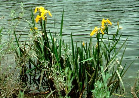 Yellow flag iris beside body of water