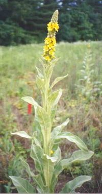 Common mullein plant